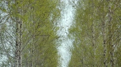 Alley, an urban park, birch grove. Alley with birch trees. Path Stock Footage
