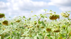 Sunflower field ready to be harvested panorama Stock Footage