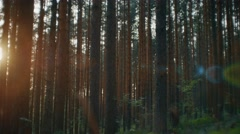 Camera moving across summer pine forest. Sunset light creating beautiful lens Stock Footage
