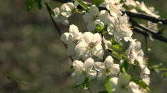 Slow motion of prune branch with sunlit white blossom, waving on light wind Stock Footage