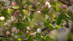 Pear branch with pink blossom and red buttons close up Stock Footage