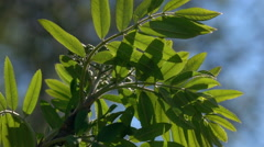 Smooth motion of rowan branch with fresh green leaves close up Stock Footage