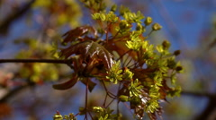 Maple branch with fresh red leaves and green blossom close up Stock Footage