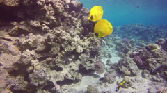 Masked Butterflyfish (Chaetodon semilarvatus) with coral reef background. Stock Footage
