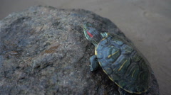 Red-eared slider turtles. Trachemys scripta elegans, head shot, close up hd Stock Footage