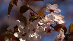 Smooth motion of blooming pink prune branch, waving on wind. Stock Footage
