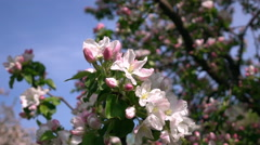 Smooth motion of apple spring twig with pink blossom and fresh green leaves Stock Footage