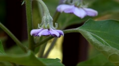 A close up of purple Eggplant flowers in a garden Stock Footage