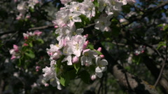 Apple tree with pink blossom, waving on wind close up Stock Footage