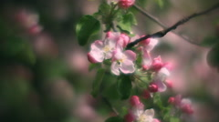 Inside round panorama of pink apple blooming branch close up Stock Footage