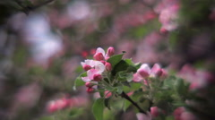 Inside round panorama of pink apple blooming twig with softened effect. Stock Footage
