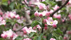 Pink apple blooming tree with softened effect and unusual background. Stock Footage