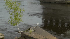 A bird on the rock on the Narva River Stock Footage
