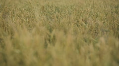 Close-up of wheat ears in field Arkistovideo