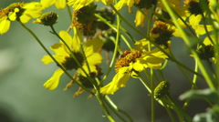 Bumblebee on Yellow Flowers- 3 Stock Footage