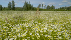 The landscape view of the daisy flower field Stock Footage