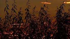 Reeds Swaying in the Wind in Slow Motion During Sunset. Stock Footage
