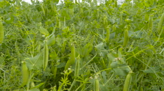 Closer look of the pea pods on the field Stock Footage