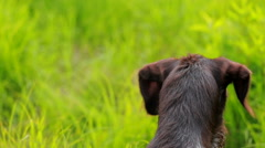 Dog head close-up. Hunting dog brown color, with wet hair. Stock Footage
