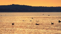 Seagulls Flying and Swimming in the Ocean at Sunset. Stock Footage