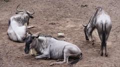 White bearded wildebeest Stock Footage