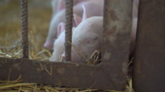 Little pigs resting on the straw in 4K Stock Footage