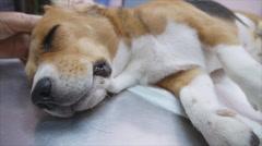 Beagle female dog tremble after finish castration operation Stock Footage