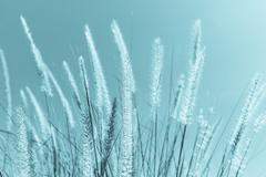 Feather grass in nature Stock Photos