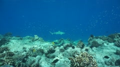 Blacktip reef shark edge of coral reef barrier Stock Footage