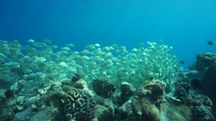 School of convict tang fish Acanthurus triostegus Stock Footage