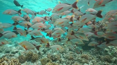Shoal of fish humpback red snapper underwater sea Stock Footage