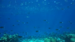 Tropical fish schooling underwater on coral reef Stock Footage