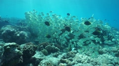 Underwater tropical fish school surgeonfish Stock Footage