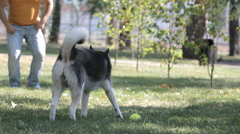 Dog gives paw hostess. Dog throw the ball. Husky Stock Footage