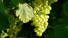 Prosecco ripe grape - Zooming in Stock Footage