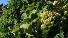 Prosecco ripe grapes Stock Footage