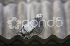 Pigeon on the roof. Stock Photos