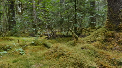 POV-Walking moss covered tree in rain forest-gyro stabilized Stock Footage