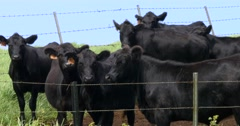 Black Angus Cows in the farm Stock Footage