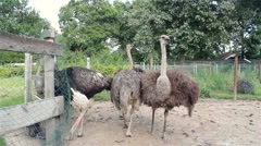 Ostrich is looking at the camera on a farm Stock Footage