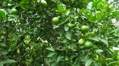 Green lemon on tree Stock Footage