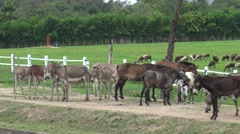 Group donkey walking and resting on local road. Stock Footage