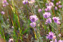 Wild flowers florets of violet color close-up. Steppe landscape Stock Photos