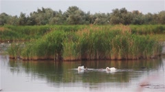 Family of swans swimming in lake. Stock Footage