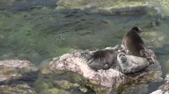 Baikal seal Pusa sibirica on Ushkany Islands. Stock Footage