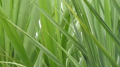 Leaves Of Sugar Cane Plants Stock Footage