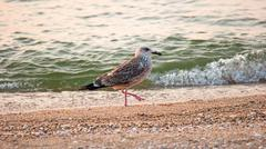 Seagull on the beach. Bird walks on the sand with one leg up Kuvituskuvat