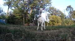 White bleating goatling on chain at the pasture. Ukraine, Podillya, Khmelnytskyi Stock Footage