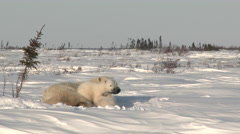 Polar Bear three months old cubs with mother at Denning area Stock Footage