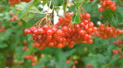 Red Viburnum berries grow on bushes Stock Footage